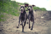 Two Weimaraner dog — Stock Photo