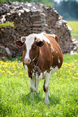 Spotted cow — Stockfoto