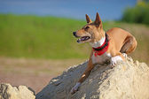 Basenjis dog — Stock Photo
