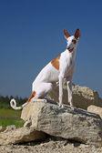 Ibizan Hound dog — Stock Photo