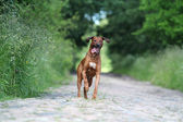 Rhodesian Ridgeback dog — Stock Photo