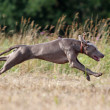 Weimaraner dog run — Stock Photo