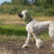 AfghHound dog — Stock Photo #11860589