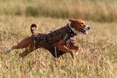 Basenjis hund — Stockfoto
