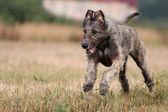 Irish wolfhound dog — Stock Photo