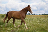 Red horse in field — Stock Photo