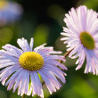 Liliac chamomile flower — Stock Photo #11997751