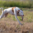 Ibizan Hound dog — Foto Stock