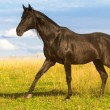Black horse - Stock Photo