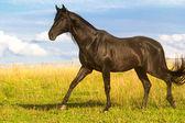 Black horse — Stock Photo