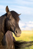 Black horse — Stock Photo