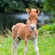 Stock Photo: Mini horse Falabella