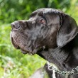 Stock Photo: Black german mastiff