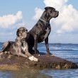 Two german mastiff — Stok fotoğraf