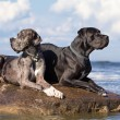 Two german mastiff — Foto de Stock