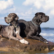 Two german mastiff — 图库照片