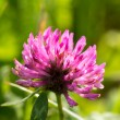 Clover flower - Stock Photo