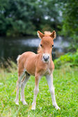 Mini horse Falabella — Stock Photo