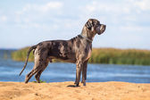 Black german mastiff — Stock Photo