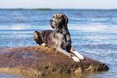 German mastiff — Stock Photo