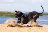 Black german mastiff — Stock Photo