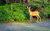 Alert Young Deer — Stock Photo