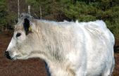 Alert White Cow — Stock Photo
