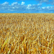 Wheat field in summer time — Stock Photo