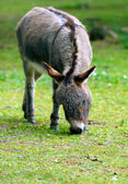 Donkey Grazing — Stock Photo