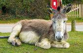 Resting Donkey — Stock Photo