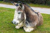 Tired Donkey — Stock Photo
