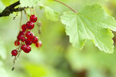 Red currant (Ribes) on the garden with natural light — Foto de Stock
