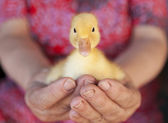 Little yellow duckling in human hands — 图库照片
