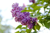 Branch of lilac flowers with the leaves — 图库照片