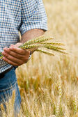 Farmer with wheat in hands. — Stock Photo