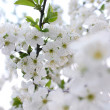 Blooming tree at spring, fresh white flowers — Stock Photo
