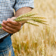 Farmer with wheat in hands — Stock Photo