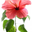 Red hibiscus isolated on white background — Stock Photo