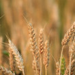 Wheat — Stock Photo #11818232