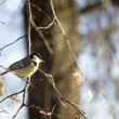 Tit on the branch — Stock Photo