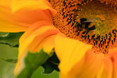Natural sunflower close up — Stock Photo
