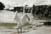 Swan flaps its wings — Stock Photo