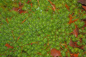 Stiff clubmoss covering forest floor — Stock Photo