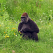 Female gorilla sitting on a grass — Stock Photo