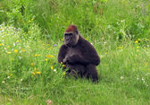 Female gorilla sitting on a grass — Stok fotoğraf