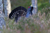 Capercaillie Tetrao urogallus adult male displaying — Stock Photo