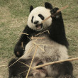 Royalty-Free Stock Photo: Giant panda bear eating bamboo (Ailuropoda Melanoleuca), China