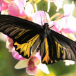 Goliath Birdwing  butterfly (Omithoptera goliath) on pink orchid flowers — Foto Stock