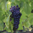 Grape bunch on a vine - Stock Photo