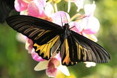 Goliath Birdwing butterfly (Omithoptera goliath) on pink orchid flowers — Stock Photo